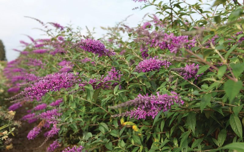 Buddleja Argus Velvet | BEST Select