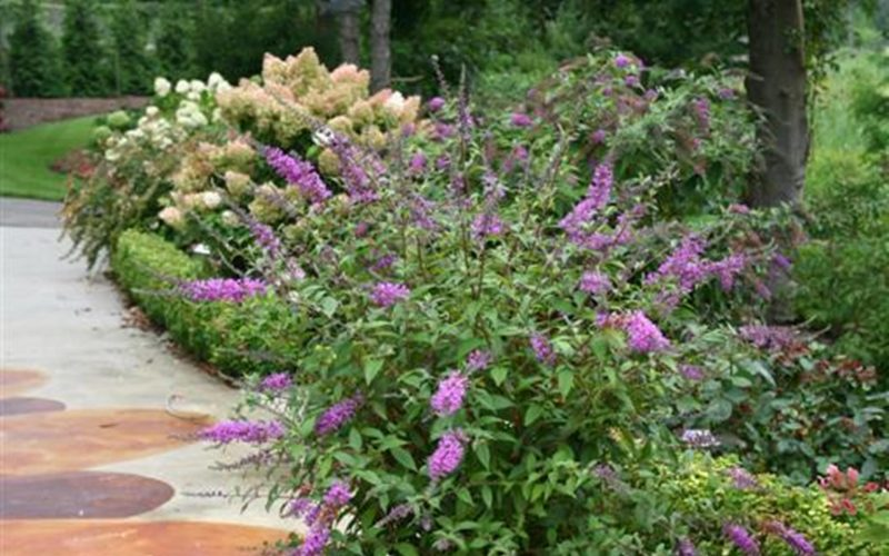 Buddleja Argus Velvet | BEST-select