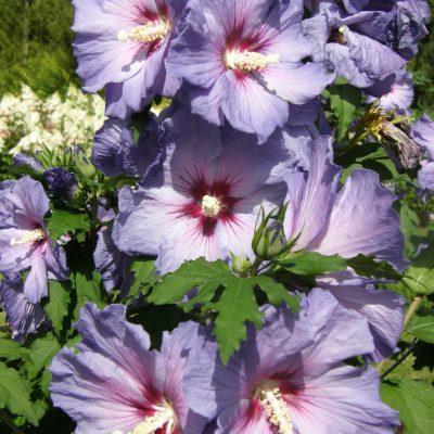 Hibiscus Azzuri