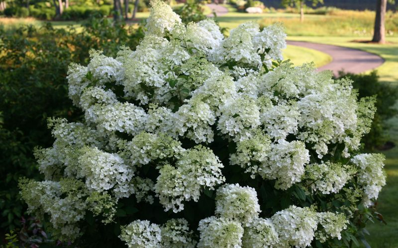 hydrangea paniculata bobo best select. Black Bedroom Furniture Sets. Home Design Ideas