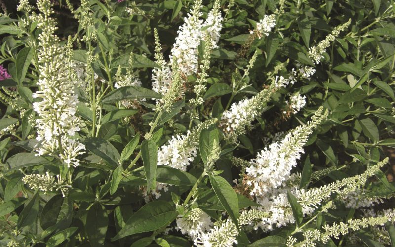 Buddleja Argus White | BEST Select