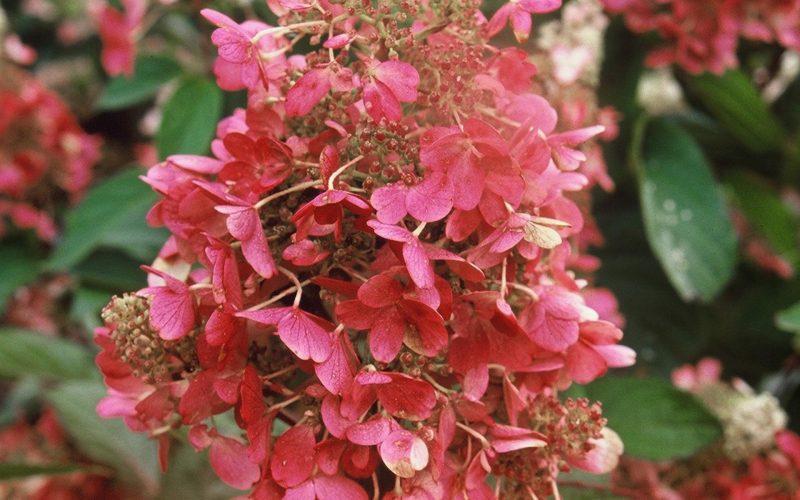 Hydrangea Pinky Winky | BEST-select