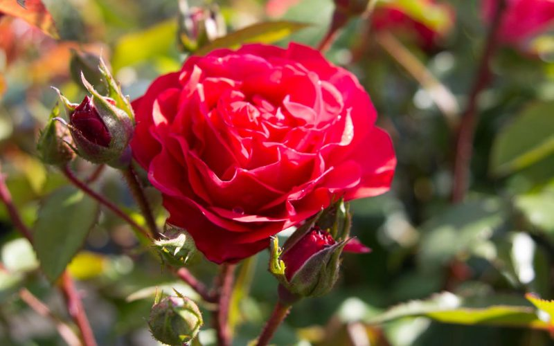 Rosen veredeln: wie funktioniert es? | BEST Select