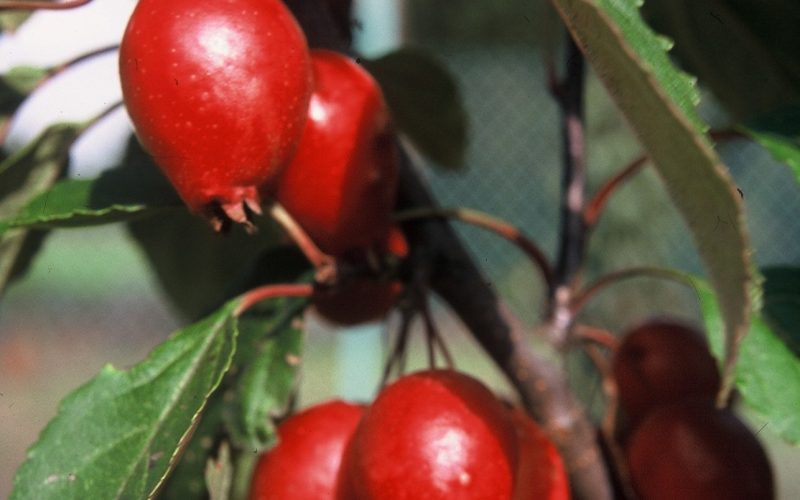 Malus Red Obelisk | BEST Select